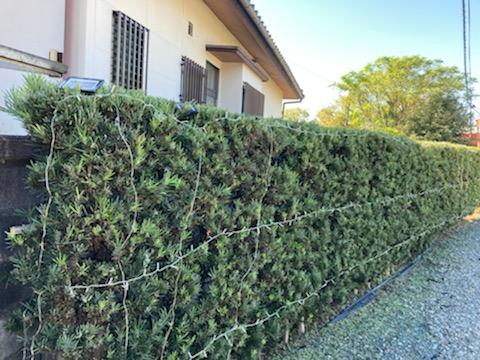 生垣の枝はにまっすぐ並べて置いていくだけ。